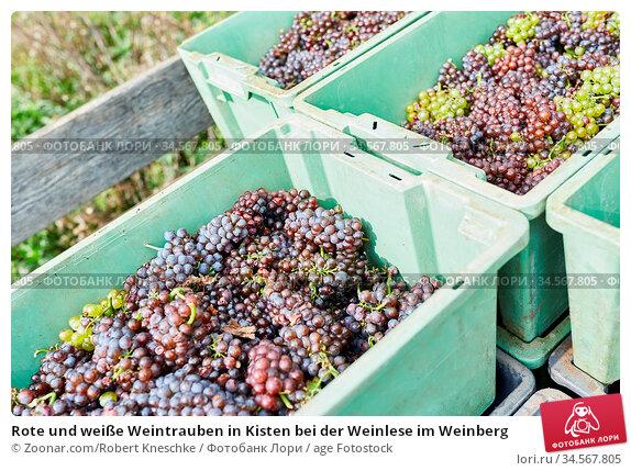 Rote und weiße Weintrauben in Kisten bei der Weinlese im Weinberg. Стоковое фото, фотограф Zoonar.com/Robert Kneschke / age Fotostock / Фотобанк Лори