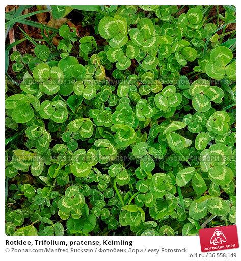 Rotklee, Trifolium, pratense, Keimling. Стоковое фото, фотограф Zoonar.com/Manfred Ruckszio / easy Fotostock / Фотобанк Лори