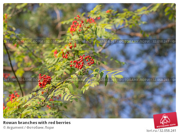 Rowan branches with red berries. Стоковое фото, фотограф Argument / Фотобанк Лори