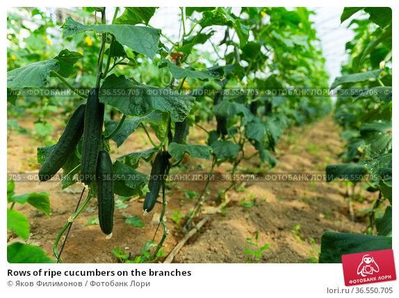 Rows of ripe cucumbers on the branches. Стоковое фото, фотограф Яков Филимонов / Фотобанк Лори