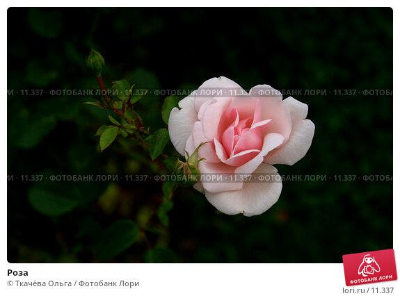 Роза, фото № 11337, снято 29 июня 2006 г. (c) Ткачёва Ольга / Фотобанк Лори