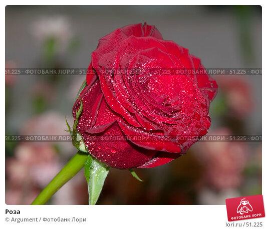 Роза, фото № 51225, снято 8 июня 2005 г. (c) Argument / Фотобанк Лори