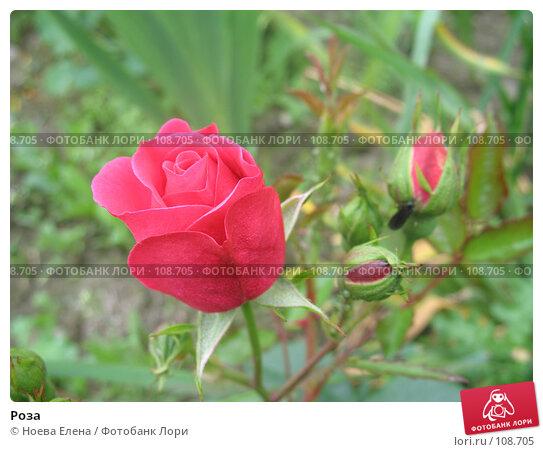 Роза, фото № 108705, снято 25 июля 2007 г. (c) Ноева Елена / Фотобанк Лори