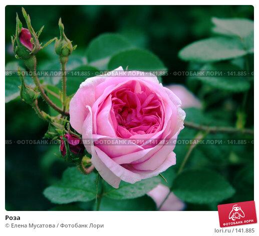 Купить «Роза», фото № 141885, снято 8 июля 2006 г. (c) Елена Мусатова / Фотобанк Лори