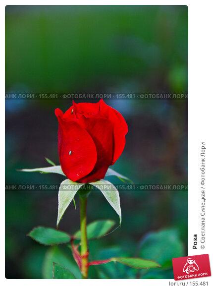 Роза, фото № 155481, снято 2 октября 2007 г. (c) Светлана Силецкая / Фотобанк Лори