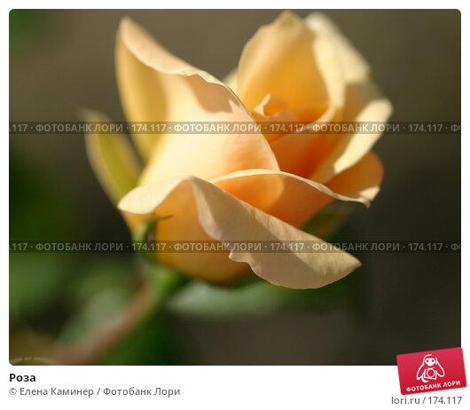 Роза, фото № 174117, снято 26 сентября 2007 г. (c) Елена Каминер / Фотобанк Лори