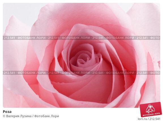 Роза, фото № 212541, снято 1 марта 2008 г. (c) Валерия Потапова / Фотобанк Лори
