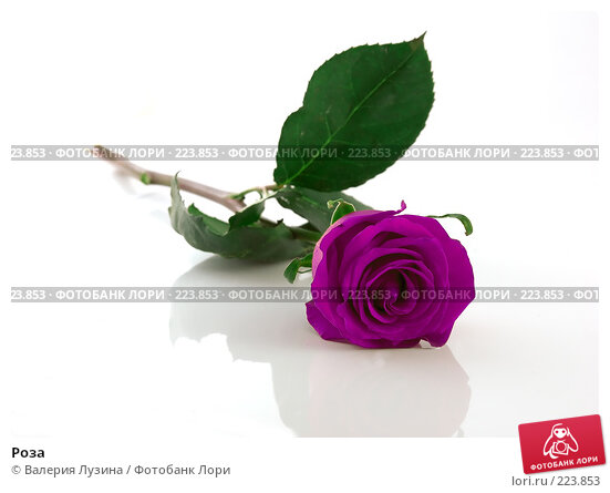 Купить «Роза», фото № 223853, снято 28 августа 2007 г. (c) Валерия Потапова / Фотобанк Лори