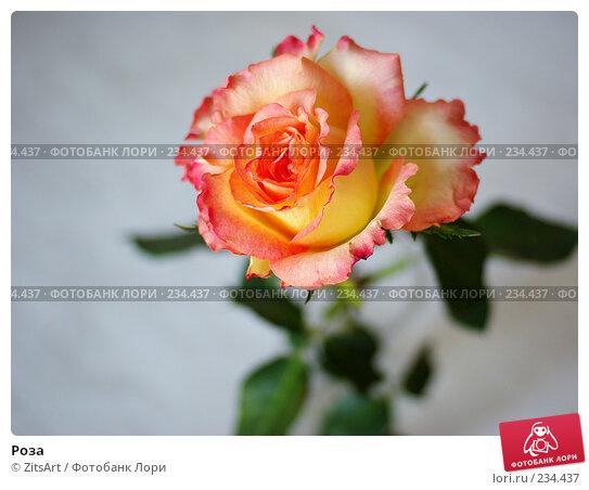 Роза, фото № 234437, снято 26 марта 2008 г. (c) ZitsArt / Фотобанк Лори