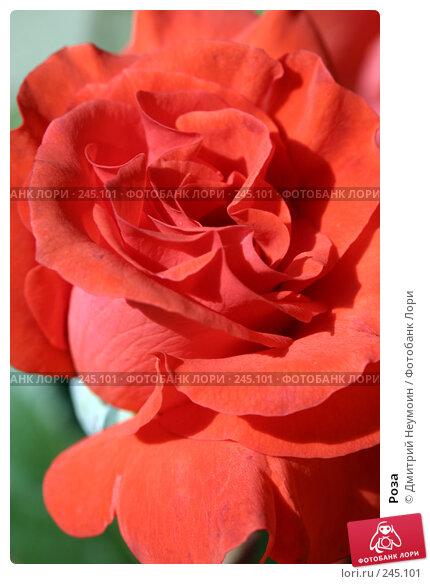 Купить «Роза», эксклюзивное фото № 245101, снято 7 сентября 2004 г. (c) Дмитрий Неумоин / Фотобанк Лори