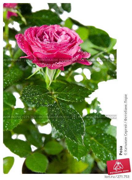 Купить «Роза», фото № 271753, снято 17 апреля 2008 г. (c) Катыкин Сергей / Фотобанк Лори