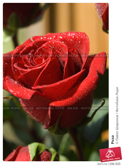 Роза, эксклюзивное фото № 296925, снято 17 мая 2008 г. (c) Павел Широков / Фотобанк Лори