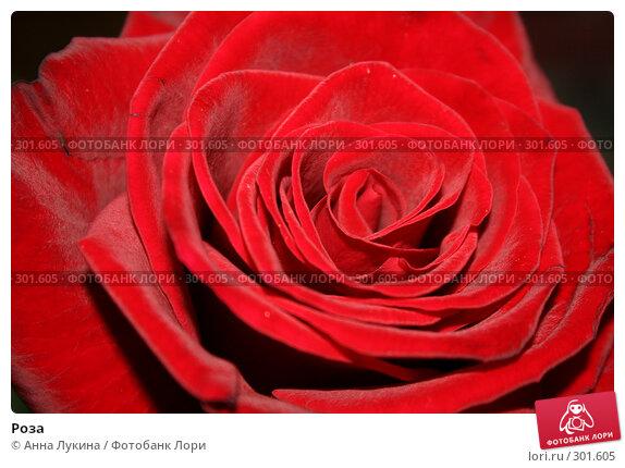 Роза, фото № 301605, снято 27 мая 2008 г. (c) Анна Лукина / Фотобанк Лори