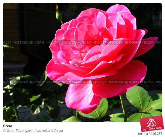 Купить «Роза», фото № 416257, снято 21 августа 2008 г. (c) Олег Таранухин / Фотобанк Лори
