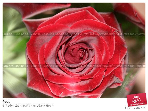 Роза. Стоковое фото, фотограф Робул Дмитрий / Фотобанк Лори