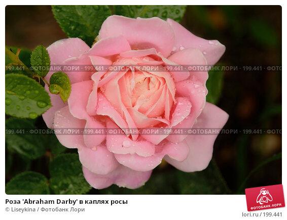 Купить «Роза 'Abraham Darby' в каплях росы», фото № 199441, снято 21 июля 2007 г. (c) Liseykina / Фотобанк Лори