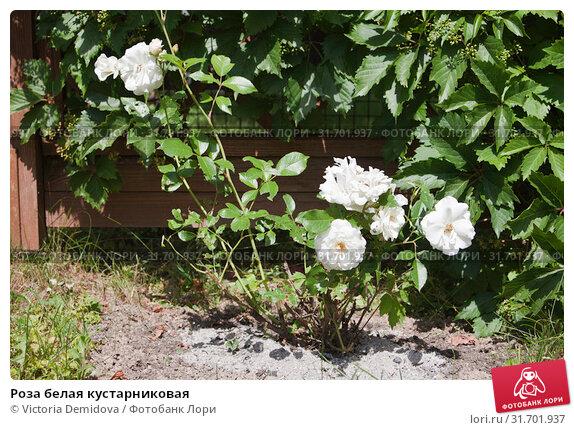 Купить «Роза белая кустарниковая», фото № 31701937, снято 18 июня 2019 г. (c) Victoria Demidova / Фотобанк Лори