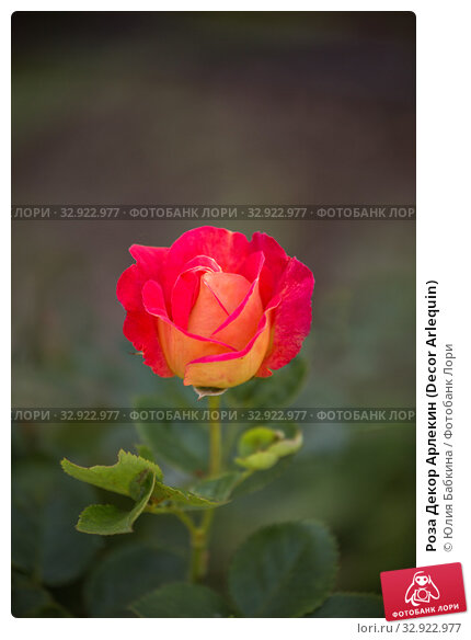 Купить «Роза Декор Арлекин (Decor Arlequin)», фото № 32922977, снято 12 июля 2018 г. (c) Юлия Бабкина / Фотобанк Лори