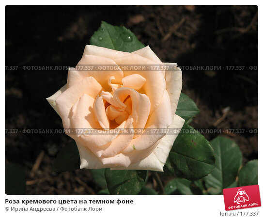 Роза кремового цвета на темном фоне, фото № 177337, снято 4 июля 2007 г. (c) Ирина Андреева / Фотобанк Лори