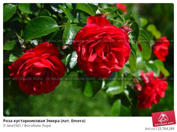 Купить «Роза кустарниковая Эмера (лат. Emera)», эксклюзивное фото № 23764249, снято 1 июля 2015 г. (c) lana1501 / Фотобанк Лори
