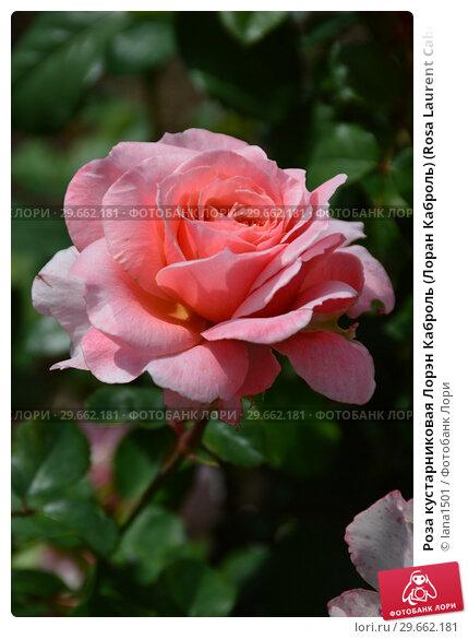 Купить «Роза кустарниковая Лорэн Каброль (Лоран Каброль) (Rosa Laurent Cabrol). Guillot Massada. Франция, 2009», эксклюзивное фото № 29662181, снято 23 июля 2015 г. (c) lana1501 / Фотобанк Лори
