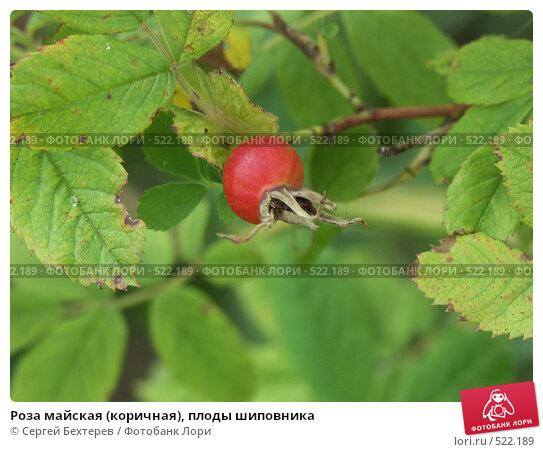 Купить «Роза майская (коричная), плоды шиповника», фото № 522189, снято 7 августа 2004 г. (c) Сергей Бехтерев / Фотобанк Лори