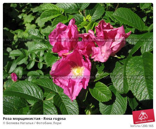 Роза морщинистая - Rosa rugosa, фото № 200165, снято 22 июля 2007 г. (c) Беляева Наталья / Фотобанк Лори