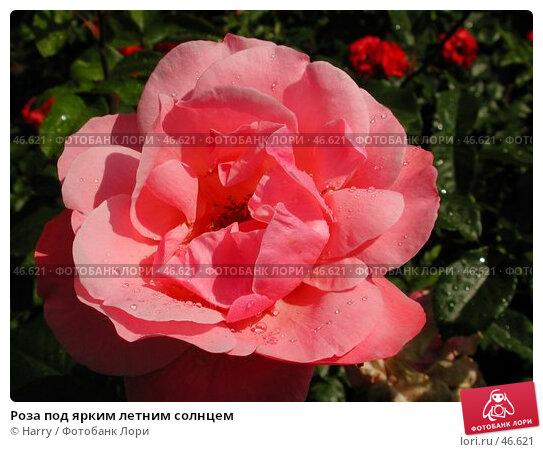 Роза под ярким летним солнцем, фото № 46621, снято 12 июня 2004 г. (c) Harry / Фотобанк Лори