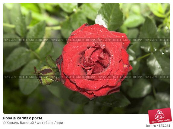 Роза в каплях росы, фото № 123261, снято 29 июня 2017 г. (c) Коваль Василий / Фотобанк Лори