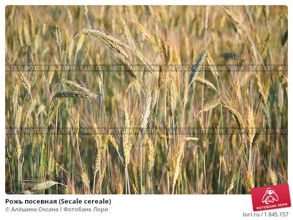 Купить «Рожь посевная (Secale cereale)», фото № 1845157, снято 5 июля 2010 г. (c) Алёшина Оксана / Фотобанк Лори