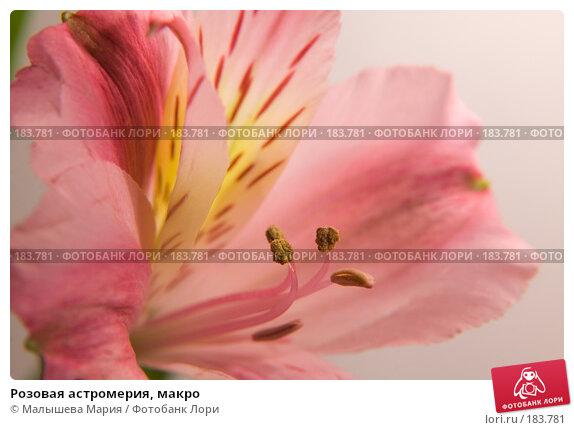 Розовая астромерия, макро, фото № 183781, снято 16 октября 2007 г. (c) Малышева Мария / Фотобанк Лори