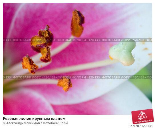 Розовая лилия крупным планом, фото № 120133, снято 29 июля 2005 г. (c) Александр Максимов / Фотобанк Лори