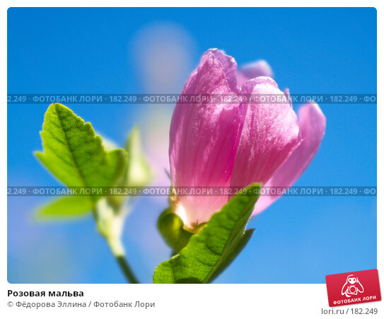 Купить «Розовая мальва», фото № 182249, снято 6 сентября 2006 г. (c) Фёдорова Эллина / Фотобанк Лори
