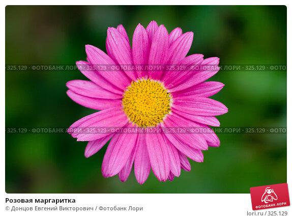 Розовая маргаритка, фото № 325129, снято 16 июня 2008 г. (c) Донцов Евгений Викторович / Фотобанк Лори