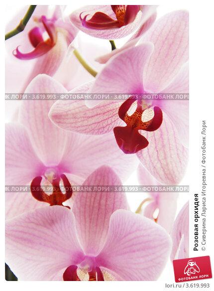 Розовая орхидея. Стоковое фото, фотограф Сиверина Лариса Игоревна / Фотобанк Лори