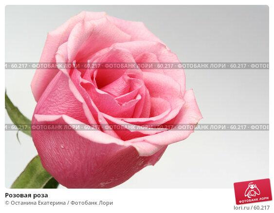 Розовая роза, фото № 60217, снято 23 февраля 2007 г. (c) Останина Екатерина / Фотобанк Лори