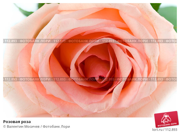 Розовая роза, фото № 112893, снято 16 февраля 2007 г. (c) Валентин Мосичев / Фотобанк Лори