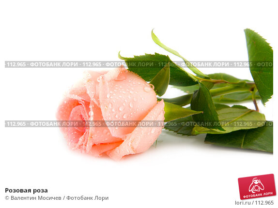 Розовая роза, фото № 112965, снято 16 февраля 2007 г. (c) Валентин Мосичев / Фотобанк Лори