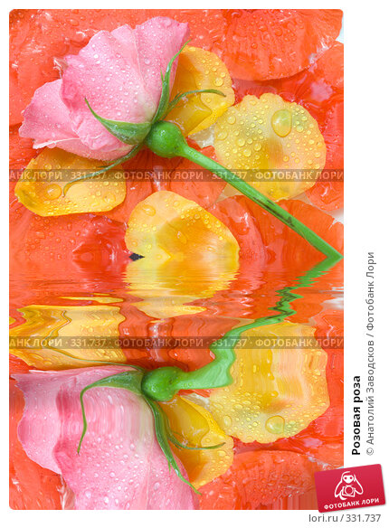 Розовая роза, фото № 331737, снято 28 мая 2007 г. (c) Анатолий Заводсков / Фотобанк Лори