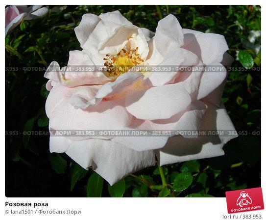 Розовая роза, эксклюзивное фото № 383953, снято 12 июля 2008 г. (c) lana1501 / Фотобанк Лори