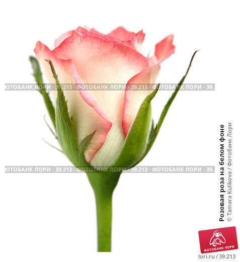 Розовая роза на белом фоне, фото № 39213, снято 5 мая 2007 г. (c) Tamara Kulikova / Фотобанк Лори