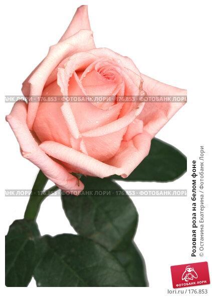 Розовая роза на белом фоне, фото № 176853, снято 13 июля 2007 г. (c) Останина Екатерина / Фотобанк Лори