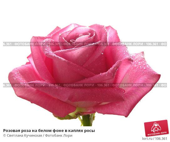 Розовая роза на белом фоне в каплях росы, фото № 106361, снято 21 июля 2017 г. (c) Светлана Кучинская / Фотобанк Лори