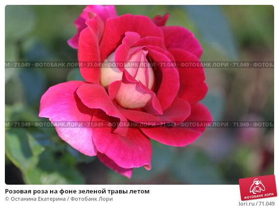Розовая роза на фоне зеленой травы летом, фото № 71049, снято 12 августа 2007 г. (c) Останина Екатерина / Фотобанк Лори