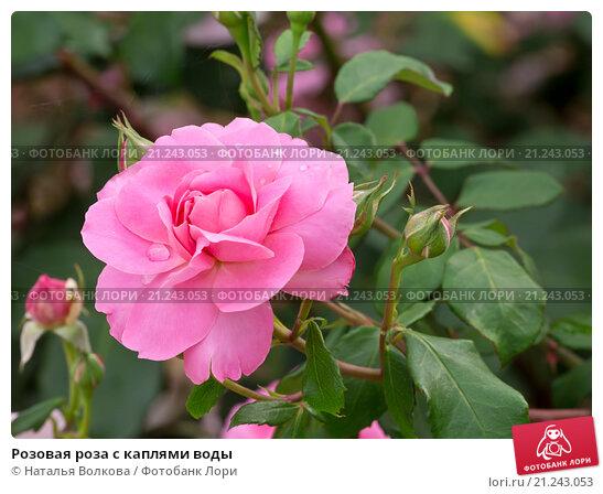 Купить «Розовая роза с каплями воды», фото № 21243053, снято 20 июня 2015 г. (c) Наталья Волкова / Фотобанк Лори