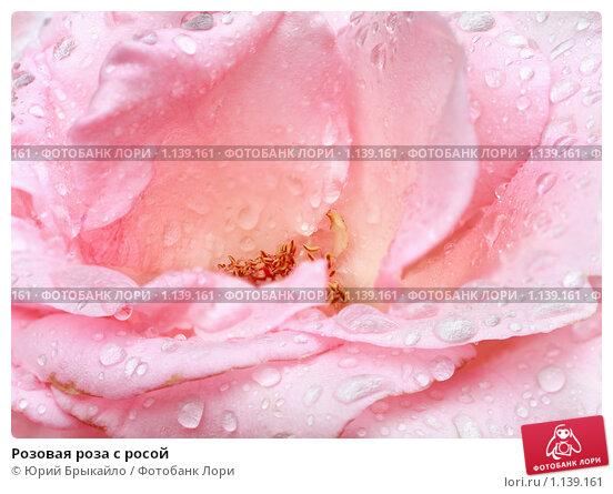 Купить «Розовая роза с росой», фото № 1139161, снято 29 августа 2009 г. (c) Юрий Брыкайло / Фотобанк Лори