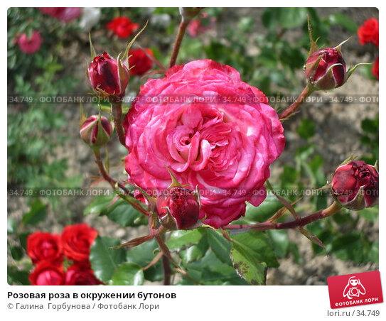 Розовая роза в окружении бутонов, фото № 34749, снято 22 июня 2005 г. (c) Галина  Горбунова / Фотобанк Лори