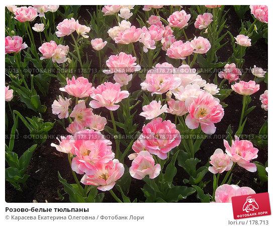 Розово-белые тюльпаны, фото № 178713, снято 7 января 2005 г. (c) Карасева Екатерина Олеговна / Фотобанк Лори