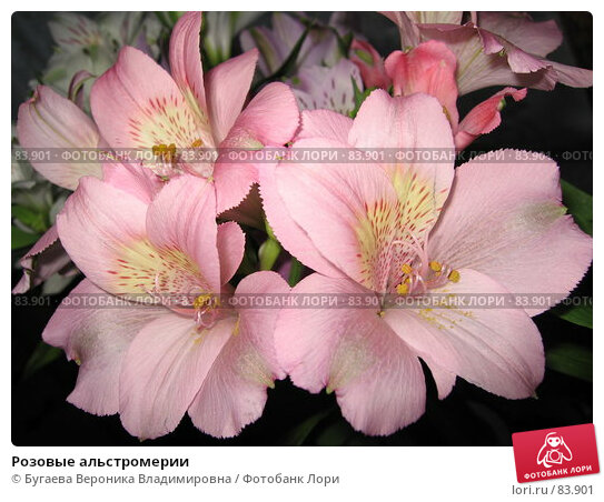 Розовые альстромерии, фото № 83901, снято 17 июня 2007 г. (c) Бугаева Вероника Владимировна / Фотобанк Лори