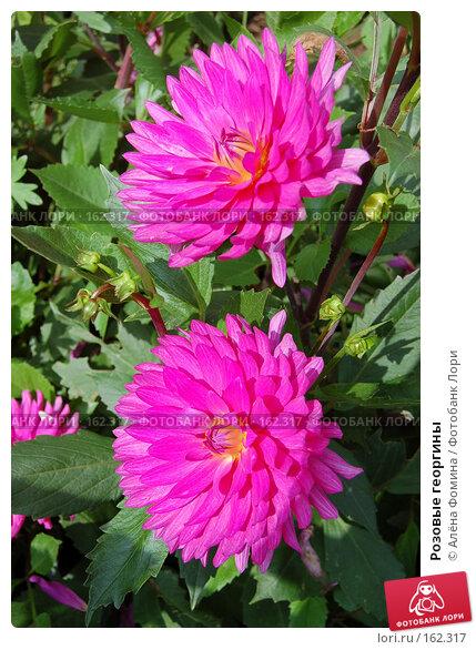 Купить «Розовые георгины», фото № 162317, снято 7 августа 2006 г. (c) Алёна Фомина / Фотобанк Лори